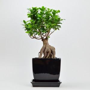 ガジュマルの盆栽風コンポート植え